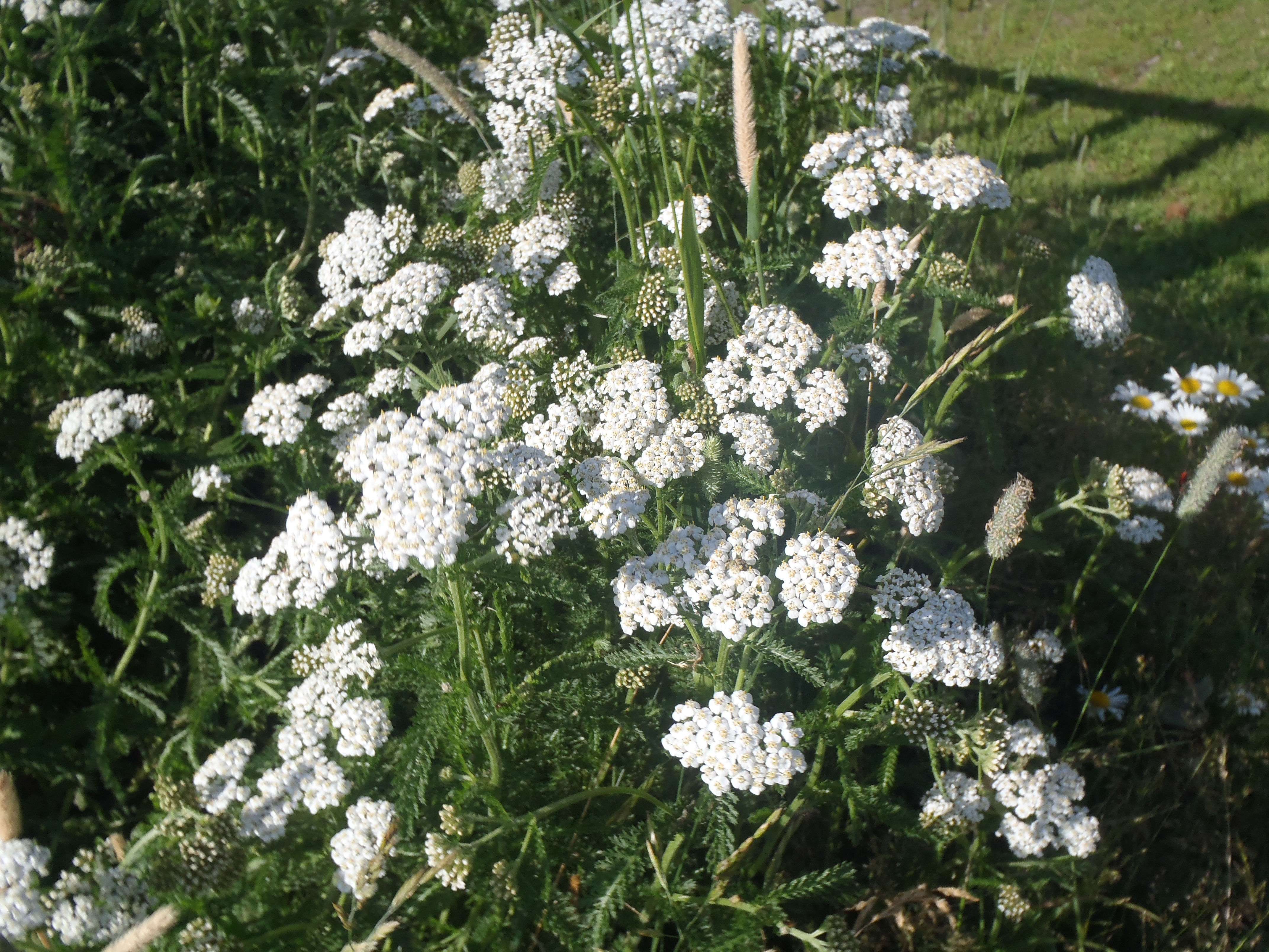 Plant diet with Yarrow: Part 1 Preparation