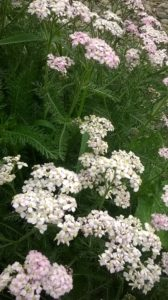 Plant Diet with Yarrow: Part 3 Conclusion