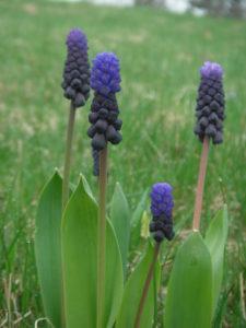 muscari spring flower power
